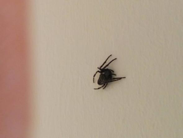 Schwarze kleine Spinne - (Spinnen, Art, Spinnenart)
