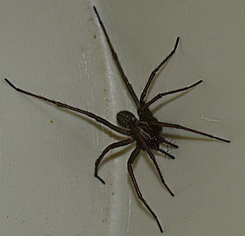 Spinne1 - (Tiere, Insekten, Spinnen)