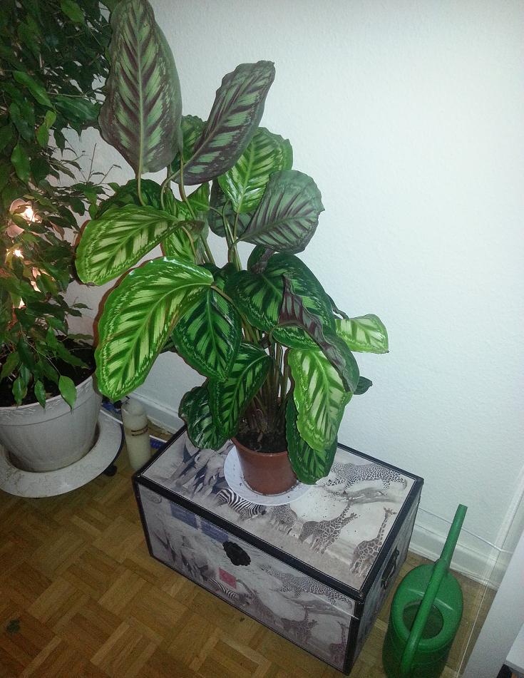 was f r eine zimmer gr npflanze ist das pflanzen zimmerpflanzen gr npflanzen. Black Bedroom Furniture Sets. Home Design Ideas