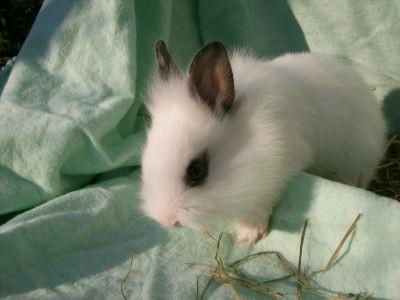 und Streifen  - (Tiere, Haustiere, Kaninchen)