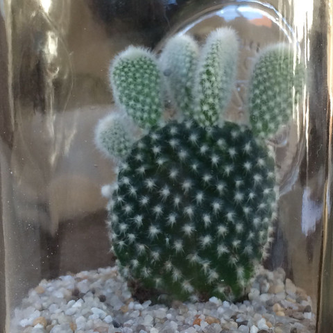 5-11 cm hoch  3-6 cm breit 7-11 mm dick - (Name, Pflege, kaktus)
