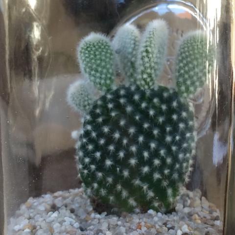 Was für einen Kaktus habe ich zu meinem Geburtstag bekommen?