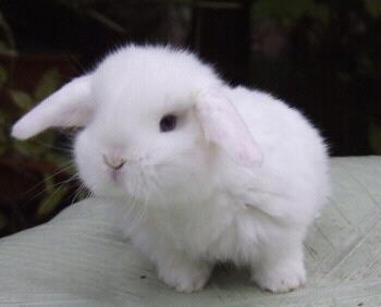 Penny - (Kaninchen, Zwergwidder)