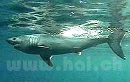 Heringshai - (Allgemeinwissen, Nordsee, Hai)