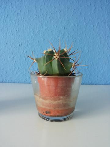 Kaktus Nummer 2 - (Pflege, Pflanzen, kaktus)