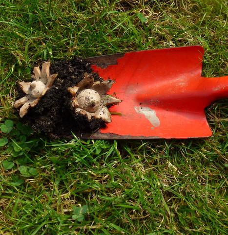 Unbekannte Pilzsorte - (Pilze, Botanik)