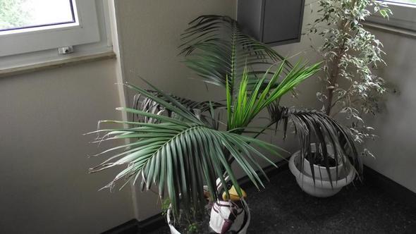 was habe ich daf r eine pflanze pflege pflanzen palme. Black Bedroom Furniture Sets. Home Design Ideas