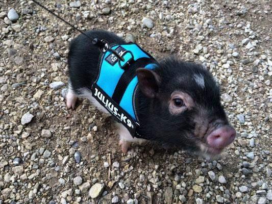 was halten ihr von Minischweine als Haustier,ist das eine bessere alternative zu hunden..?