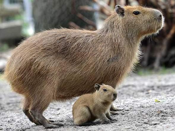 Was haltet ihr von Capybaras?