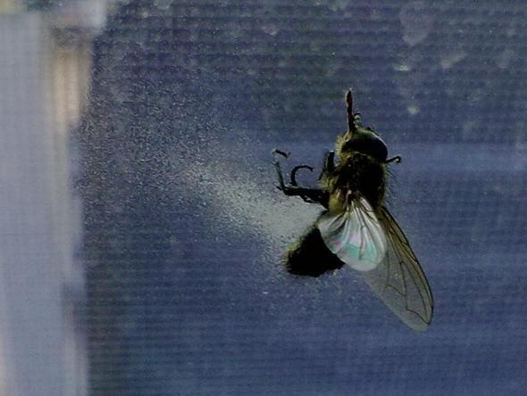 Fliege mit Pin im Kopf - (Tiere, Krankheit, Natur)