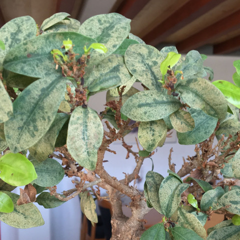 Verfärbung der Blätter. - (Krankheit, Bonsai, bl)