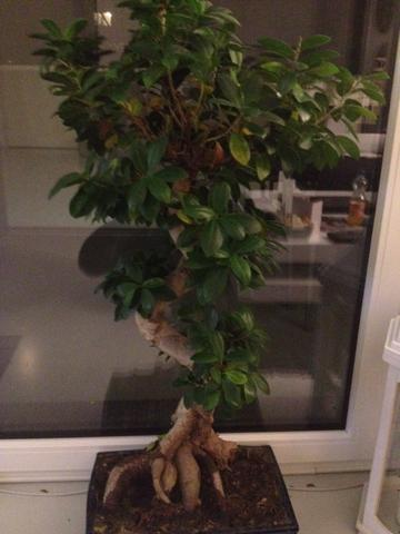 Was hat mein Bonsai Ginseng Ficus? =( (Pflege, Pflanzen)