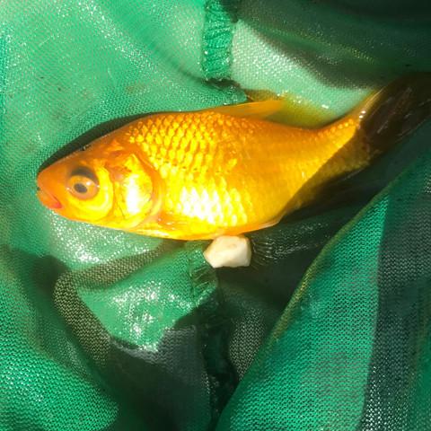 Was Hat Mein Goldfisch Rot Am Mund Und Trubes Auge Augen Teich