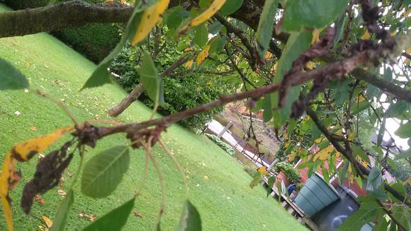Ast3 - (Garten, Gärtner, Obstbaum)