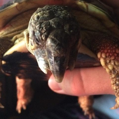 Das ist die Schildkröte & man sieht klar das die Backen hervorstehen - (krank, Schildkröten, Landschildkröten)