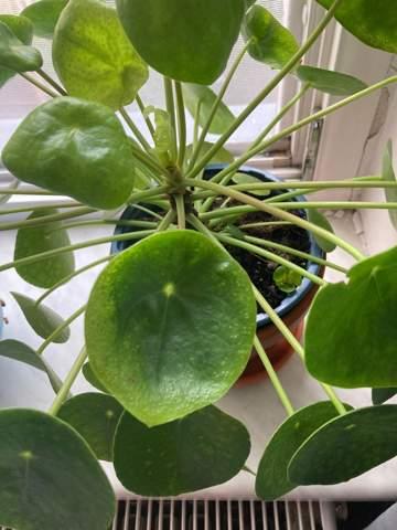 - (Pflanzen, Pilea)
