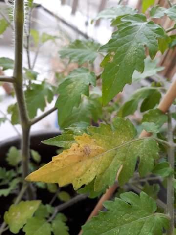 Was hat meine Tomatenpflanze (rote Murmel) - gelbe Blätter?