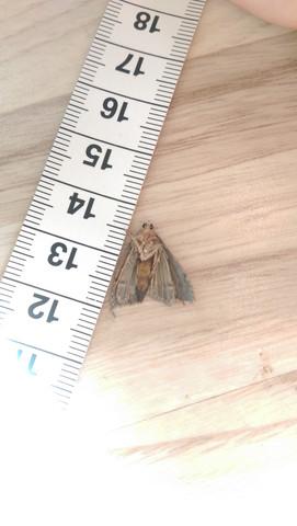 motte - (Insekten, Ungeziefer, Motten)