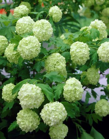 Schneeball (Roseum) - (Pflanzen, Gift, Scneeball Roseum)