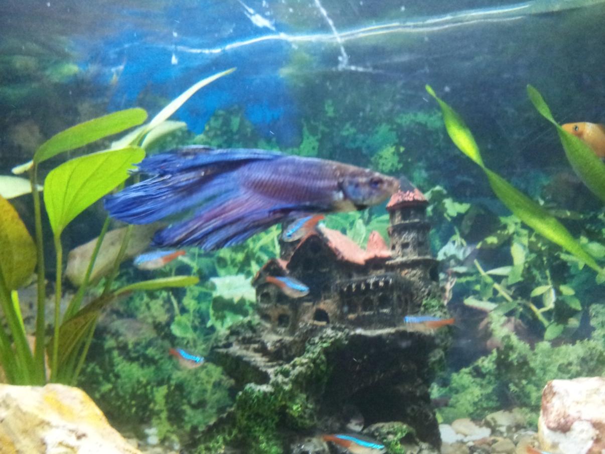Was ist blo mit meinem kampffisch los fische aquarium for Kampffisch aquarium