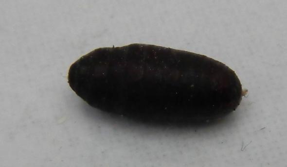 Was ist das? 1cm groß, schwarzbraun, eiförmig, tierisch...?