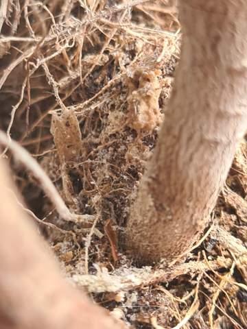 Was ist das an meinem Ficus?