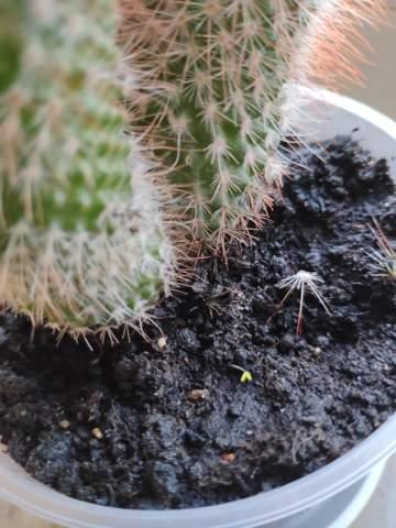 Was ist das An meinem Kaktus?