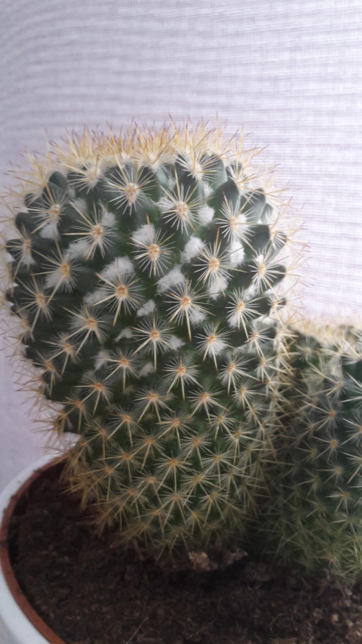 was ist das an meinem kaktus an meinen kakteen pflanzen pflege blumen. Black Bedroom Furniture Sets. Home Design Ideas