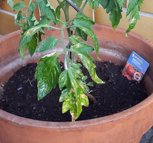 Gelbe Flecken auf jungen Tomatenpflanzen - (Krankheit, junge Tomatenpflanzen)
