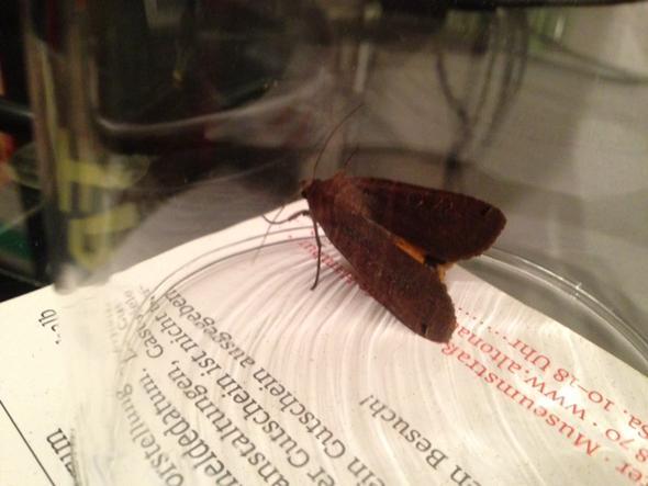 Motte? - (Biologie, Insekten, Schmetterling)