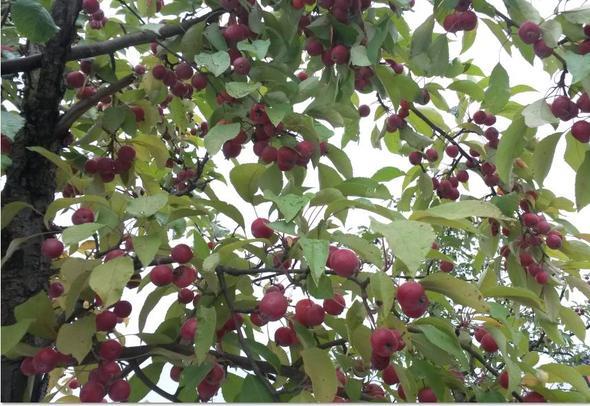 Baum und Frucht - (Pflanzen, Baum, Früchte)