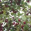 Baum und Frucht