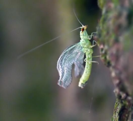 Was ist das für ein ätherisches Insekt? Könnt Ihr (mal wieder) bei der Bestimmung helfen?