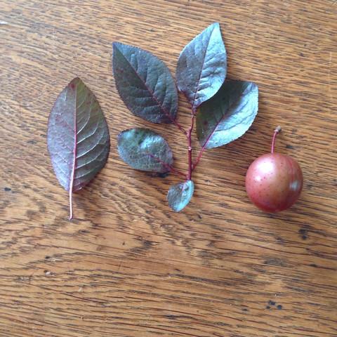 Was ist das für ein Baum ,? Kann man die Früchte essen?