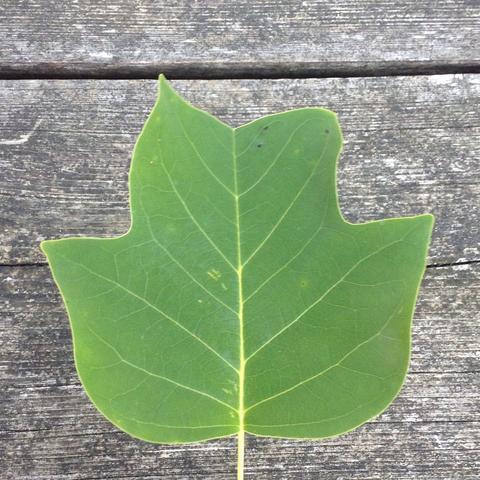 Vorderseite - (Natur, Baum, Blaetter)