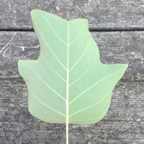Rückseite - (Natur, Baum, Blaetter)
