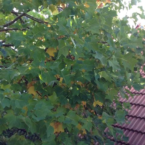 Baum im Ganzen - (Natur, Baum, Blaetter)
