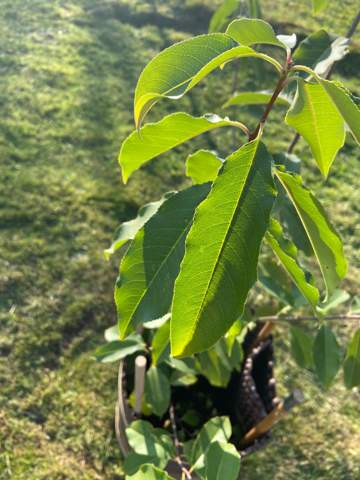 Was ist das für ein Baum der wild in meinem Garten gewachsen ist?