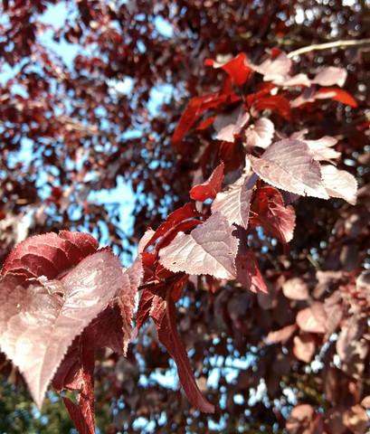 Was Ist Das Für Ein Baum was ist das für ein baum dunkelrot garten pflanzen