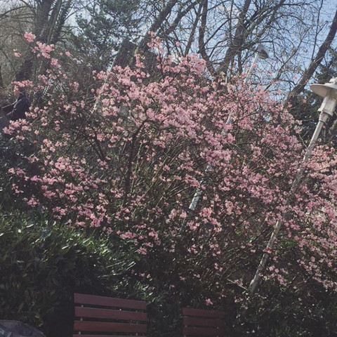 Was Ist Das Für Ein Baum was ist das für ein baum frühling rosa welches