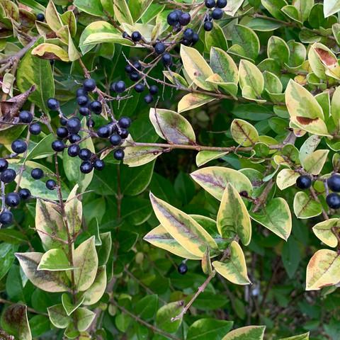 Was ist das für ein Baum? Gelb, grüne Blätter, schwarze Früchte?