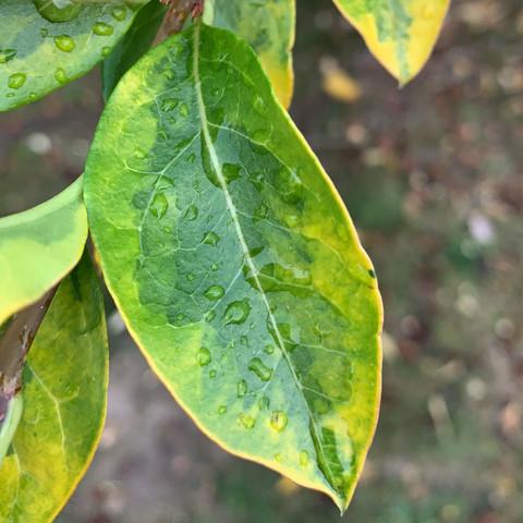 Blatt nah 2 - (Pflanzen, Garten, Baum)