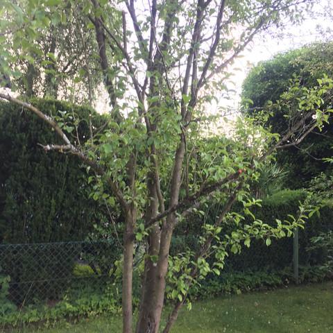 Baum3 - (Garten, Bio, Baum)
