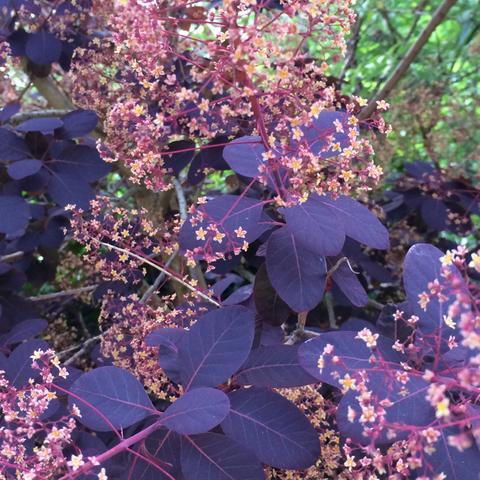 Baum mit roten blättern  - (Pflanzenbestimmung, rote Blätter)