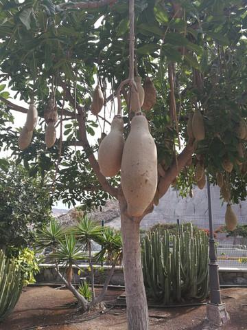Was ist das für ein Baum? Was sind das für Früchte? (Gran Canaria)?