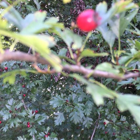 Weissdorn - (Freizeit, Natur, Baum)