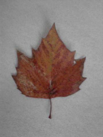Dieses Blatt - (Baum, Herbst, Blaetter)