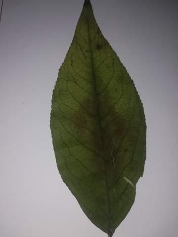 Was ist das für ein Blatt, bzw. Baum?