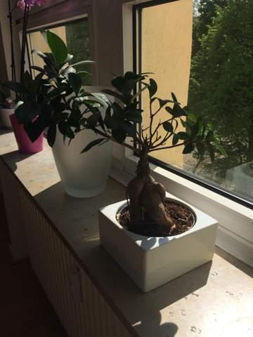 Was ist das für ein Bonsai?Ist es ein Ficus?