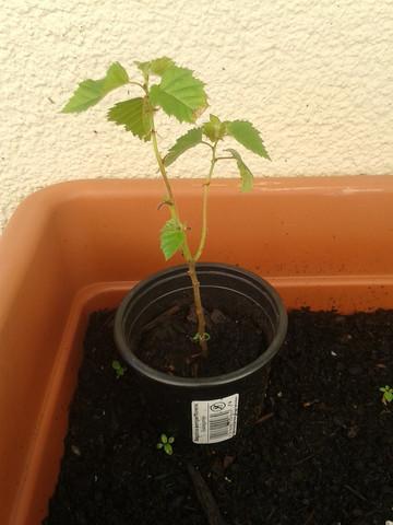 junges Bäumchen 3 - (Baum, Art, Ahorn)